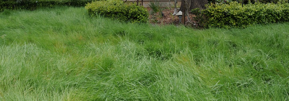 Agrostis pallens Sod (Native Bentgrass)