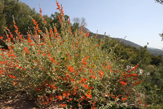 Sphaeralcea Ambigua California Native Seeds S Amp S Seeds
