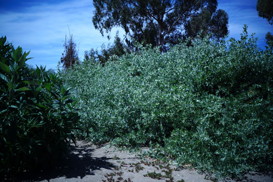Atriplex Lentiformis California Native Seeds S Amp S Seeds