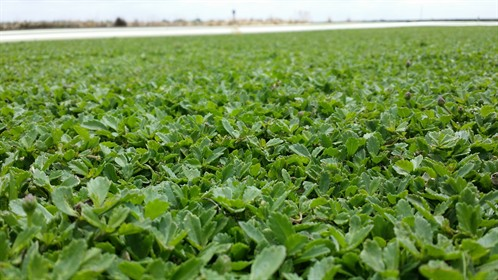 Kurapia up close and field picture.jpg