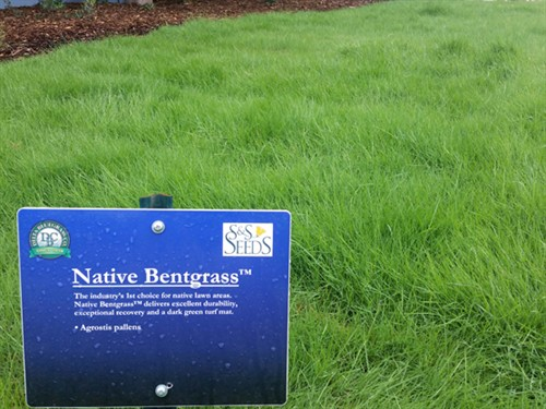 NativeBentgrass2wks-mc