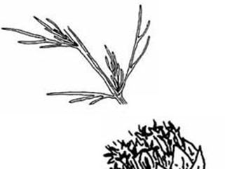 Artemisia Californica Drawing