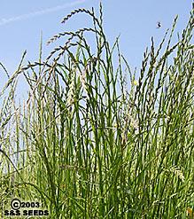 Lolium Multiflorum California Native Seeds S Amp S Seeds