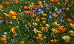 Low Profile Wildflower Mix