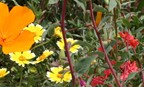 California Coastal Native Wildflower Mix