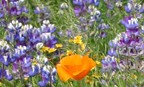 California Native Wildflower Mix
