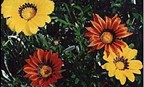Gazania splendens SOLD OUT
